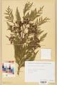 Neuchâtel Herbarium - Thuja plicata - NEU000003614.tiff