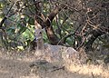 Nilgai in Gir Forest National Park 01.jpg
