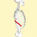 Ninth rib lateral2.png