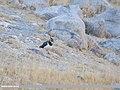 Northern Lapwing (Vanellus vanellus) (45869404294).jpg