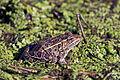 Northern Leopard Frog (14541054827).jpg