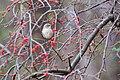 Northern mockingbird (19359288281).jpg