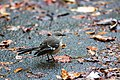 Northern mockingbird (44972124475).jpg