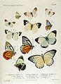 NovaraExpZoologischeTheilLepidopteraAtlasTaf25.jpg