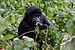 Nshongi Gorilla Group-2, by Justin Norton.jpg