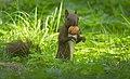 Nutty squirrel (50366479903).jpg