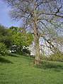 Oak before ash - geograph.org.uk - 438976.jpg