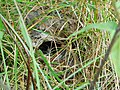 Običan zviždak gnezdo (Phylloscopus collybita), Common Chiffchaff nest.jpg