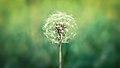 Obligatory Annual Dandelion Picture (5003160931).jpg