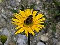 Ochsenauge (Buphthalmum salicifolium) auf der Rax II.jpg