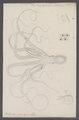 Octopus niveus - - Print - Iconographia Zoologica - Special Collections University of Amsterdam - UBAINV0274 090 03 0012.tif