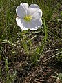 Oenothera pallida subsp. pallida (2).jpg