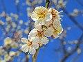 Ogose Plum Blossoms In Ogosebairin 1.JPG