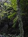 Old tree in Yoro Park - panoramio.jpg