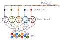 Olfactory Sensory Neurons innervating Olfactory Glomeruli.jpg