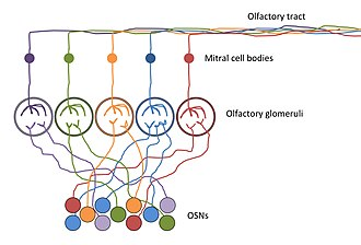 Olfactory epithelium - Olfactory sensory neurons (OSNs) express odorant receptors. The axons of OSNs expressing the same odorant receptors converge onto the same glomerulus at the olfactory bulb, allowing for the organization of olfactory information.