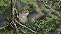 Olive-tree warbler, Hippolais olivetorum, at Mkuze Game Reserve, Kwa Zulu-Natal, South Africa (39230392764).jpg