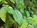 One Leaf Plant (Monophyllaea sp.) (15481094276).jpg