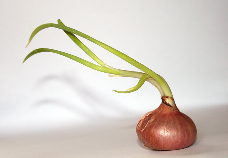 File:Onion whitebackground.jpg