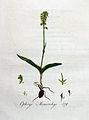 Ophrys monorchys — Flora Batava — Volume v4.jpg