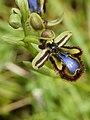 Ophrys speculum (flower & buds).jpg