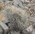 Opuntia polyacantha var erinacea 5.jpg