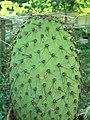 Opuntia sp 6313.jpg