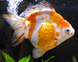 Ryukin - Orange and white Ryukin with black specks. This is a form of calico, called a Sakura.