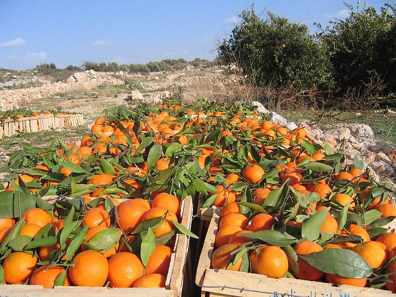 収穫されたオレンジ