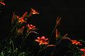 Orange Daylilies (3596127498).jpg