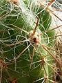 Oreocereus fossulatus.JPG