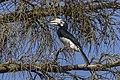 Oriental Pied Hornbill - Baluran NP - East java MG 8430 (29754518831).jpg