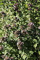 Origanum vulgare Helsinki, Finland.jpg