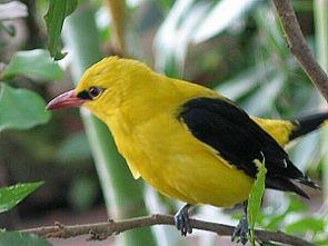 Pirol, Männchen (Oriolus oriolus)