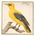 Oriolus galbula - man - 1753-1834 - Print - Iconographia Zoologica - Special Collections University of Amsterdam - UBA01 IZA1000270.tif