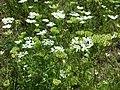 Orlaya grandiflora sl9.jpg