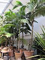 Orto botanico, fi, serra fredda, Archontophoenix cunninghamiana.JPG