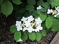 Orto botanico, fi, viburnum plicatum cv 02.JPG