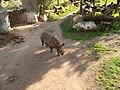 Ostafrikanisches Spitzmaulnashorn Zoo Leipzig (2).jpg