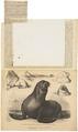 Otaria stelleri - 1877 - Print - Iconographia Zoologica - Special Collections University of Amsterdam - UBA01 IZ21100083.tif