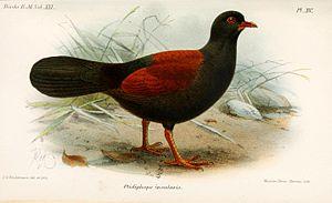 Pheasant pigeon - Image: Otidiphaps Insularis Keulemans