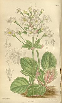 Ourisia macrophylla 136-8295