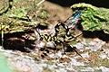 Oviposing wasp Megarhyssa sp. (9375353732).jpg