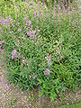 P1000633 Epilobium angustifolium var. brachycarpum (Onagraceae) Plant.JPG