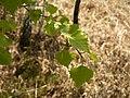 P1020940 feuille bouleau le Puy du Joug.JPG