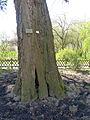 P1320109 Angers arboretum GA chene des Afares tronc rwk.jpg