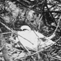 PSM V63 D334 Tropic bird on nest.png