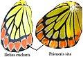 P sita D eucharis wings.jpg
