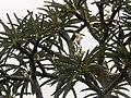 Pachypodium lamerei 02.jpg