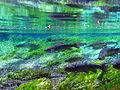 Pacifische zalmen in het water van Wakutama-vijver, -7 augustus 2012 a.jpg